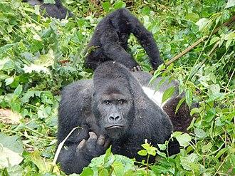 Eastern lowland gorilla - A silverback and child at Kahuzi-Biéga National Park