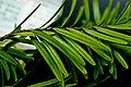 Keteleeria davidiana formosana foliage 3.jpg