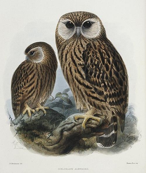 500px keulemans, john gerrard, 1842 1912  sceloglaux albifacies. j. g. keulemans del. mintern bros imp. (london, 1876) (21421090028)