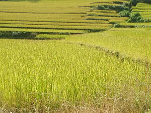 Khiji Chandeshwari - Image: Khiji agriculture