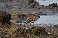 Killdeer (42473400251).jpg