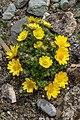 Klagenfurt Villacher Vorstadt Botanischer Garten Adonis vernalis 04042018 5788.jpg