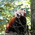 Kleiner Panda Tierpark Hellabrunn-4.jpg