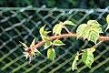 Kluse - Rubus phoenicolasius - Japanische Weinbeere 02 ies.jpg