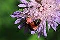 Knautien-Sandbiene Andrena hattorfiana 3557.jpg