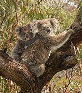Jeune faisant la moitié de la taille de sa mère, s'agrippant à elle dans son dos. Les deux sont dans une fourche d'eucalyptus