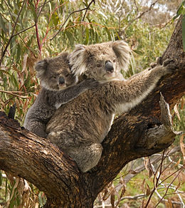 Koala Wikipedia