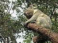 Koala in tree 2.jpg
