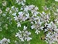 Kolendra siewna. (Coriandrum sativum L.) 03.jpg