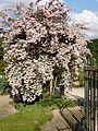 Kolkwitzia amabilis in Jardin des Plantes of Paris 10.jpg