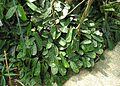 Korbmarante (Calathea truncata).jpg