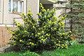Korina 2013-03-30 Mahonia aquifolium 7.jpg