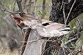 Kudu, Kruger National Park, South Africa (14791386677).jpg