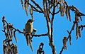 Lövsångare Willow Warbler (20325077316).jpg