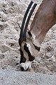 La-Palmyre-zoo 081-Oryx.jpg