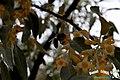 La flor del olivo, una exquisitez para las abejas cuando llegada la primavera han de enfrascarse en el proceso de la polonización - panoramio.jpg