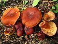 Lactarius badiosanguineus Kühner & Romagn 440283 2014-08-02.jpg