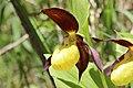 Lady's-Slipper Orchid - Cypripedium calceolus (14248230223).jpg