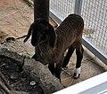 Lamb in Pata Zoo 2.jpg