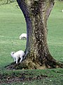Lamb scratching itself against a tree - geograph.org.uk - 151491.jpg