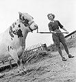 Land Girl Iris Joyce leading a bull at a farm somewhere in Britain during 1942. D8839.jpg