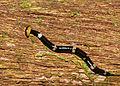 Land Planarian (Bipalium sp.) - Deer Cave Boardwalk, Mulu NP, Sarawak, Malaysia.jpg