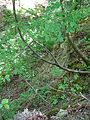 Landschaftsschutzgebiet Gestorfer Lößhügel - Steinbruch (14).JPG
