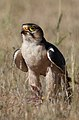Lanner Falcon Falco biarmicus, Kgalagadi Transfrontier Park, Northern Cape, South Africa. (34129006800).jpg