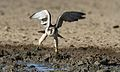 Lanner falcon, Falco biarmicus, at Kgalagadi Transfrontier Park, Northern Cape, South Africa (34447024031).jpg