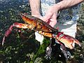 Large Red Rock Crab - Flickr - brewbooks (1).jpg