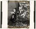 Larkspur (delphinium) LCCN2008676003.jpg
