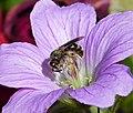 Lasioglossum species (42894185564).jpg