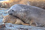 """Last excursion of our trip, at Elephant point on Livingston Island.Elephant Seals (Mirounga leonina), I presume.""""hey buddy, when I say NO, I mean NO.so get lost you big brute.!"""". (25387357793).jpg"""