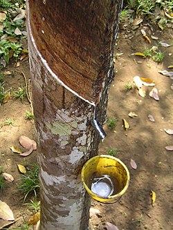 Resultado de imagen para árbol del caucho de Pará