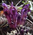 Lathraea clandestina bergeG Ciron Bernos-Beaulac 2016 a 05.JPG