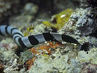 The yellow snout and paddle-like tail of L. colubrina, Zamboanguita, Philippines