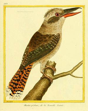 Laughing kookaburra - Coloured plate with the incorrect legend that was used by both Johann Hermann and Pieter Boddaert