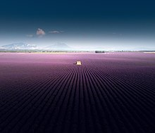 Large rows of lavender