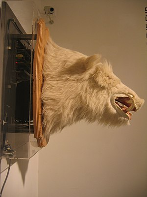 Musée de la Chasse et de la Nature - Le Souillot, the talking boar head displayed in the Trophy Room