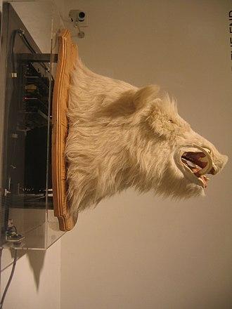 Musée de la Chasse et de la Nature - Le Souillot, the talking boar head displayed in the Trophy Room