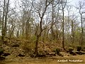 Leafless Plants in the forest of Navegaon - panoramio.jpg