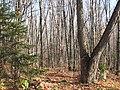 Leafless maples (6235542070).jpg