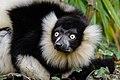 Lemur (26992583688).jpg