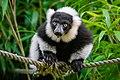 Lemur (36014780824).jpg