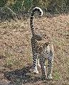 Leopard Uganda.jpg