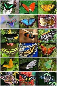 Lepidoptera Diversity.jpg