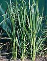 Les Plantes Cultivades. Cereals. Imatge 93.jpg