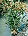 Les Plantes Cultivades. Cereals. Imatge 94.jpg