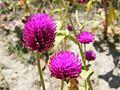 Les belles fleurs - panoramio - youssef alam (18).jpg
