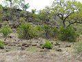 Lesser Candelabra-trees (Euphorbia cooperi) (11620399586).jpg